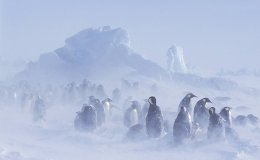 Glacier emperor penguin colony in snowstorm