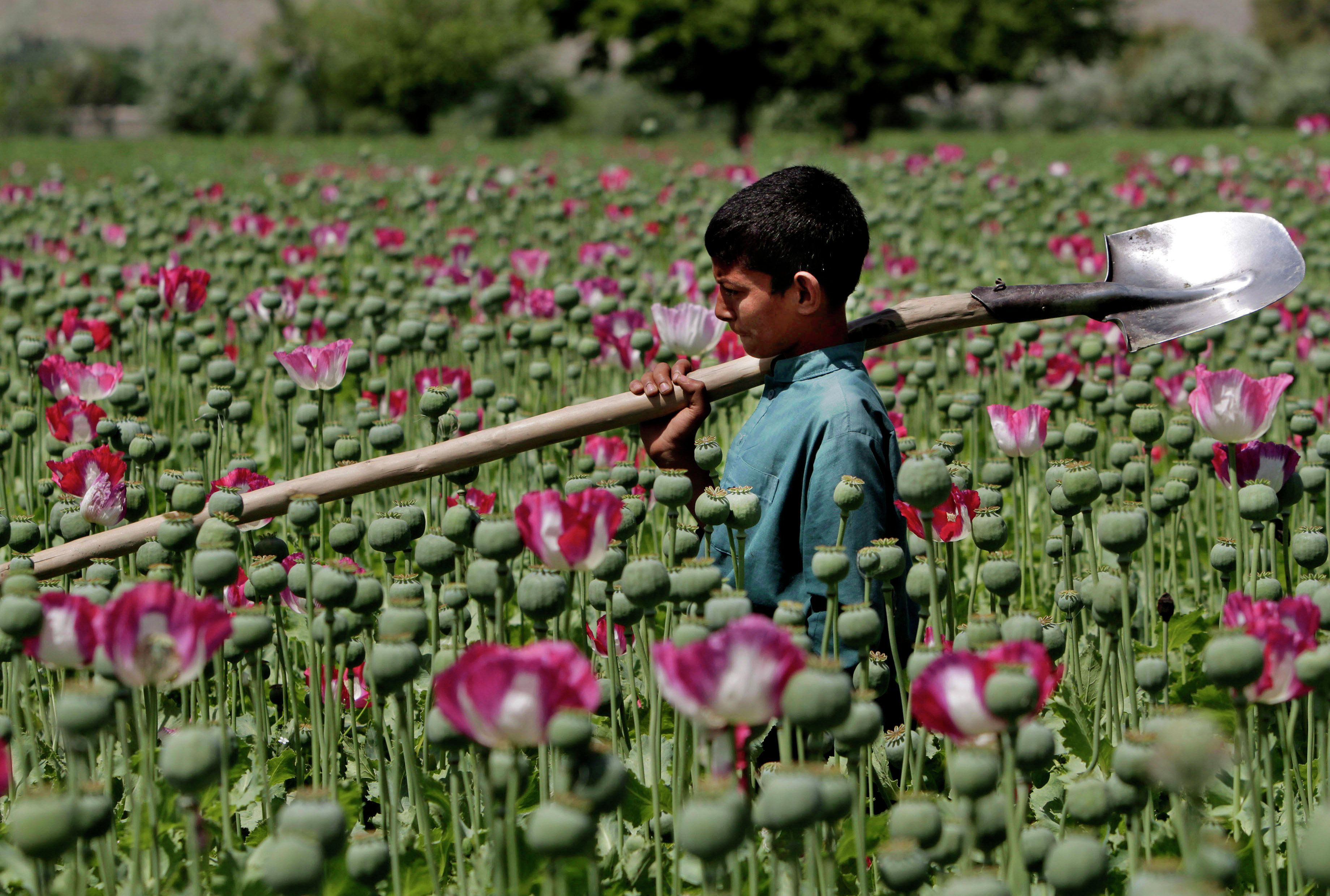 An Afghan boy walks through a poppy field in Khogyani district of Jalalabad east of Kabul, Afghanistan, Thursday, April 11, 2013. When foreign troops arrived in Afghanistan in 2001, one of their goals was to stem drug production. Instead, they have concentrated on fighting insurgents, and have often been accused of turning a blind eye to the poppy fields.