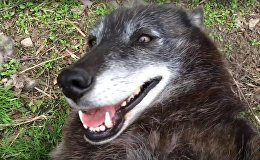 A very happy wolf