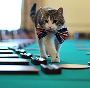 Larry, the 10 Downing Street cat, walks on the cabinet table wearing a British Union Jack bow tie ahead of the Downing Street street party, in central London, on April 28, 2011.