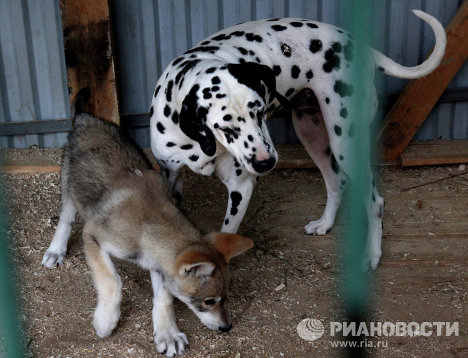Wolf cub Rapunzel and Her Adoptive Mother at Vladivostok Zoo