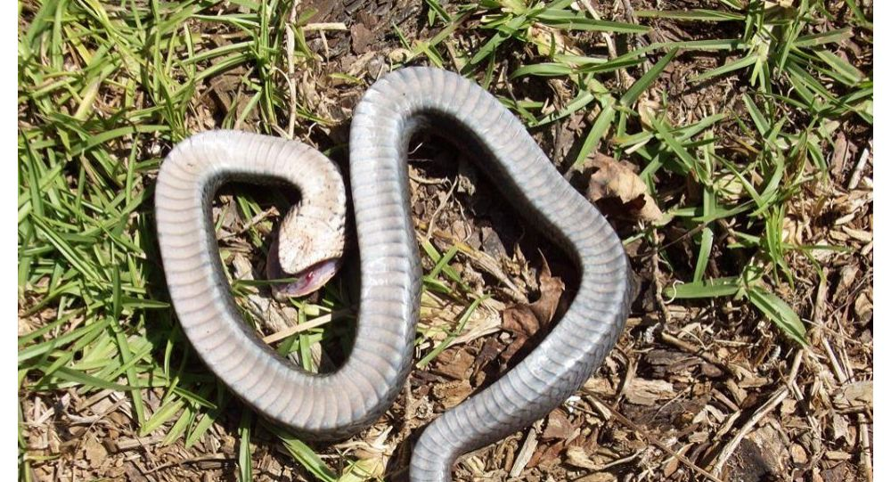 The North Carolina State Parks and Recreation shared images of the eastern hognose snake on its Facebook page, warning residents to stay alert if they happen to come across the creature, which defends itself by lying on it's back and pretending to be dead.