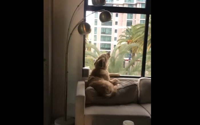 Golden Retriever howling