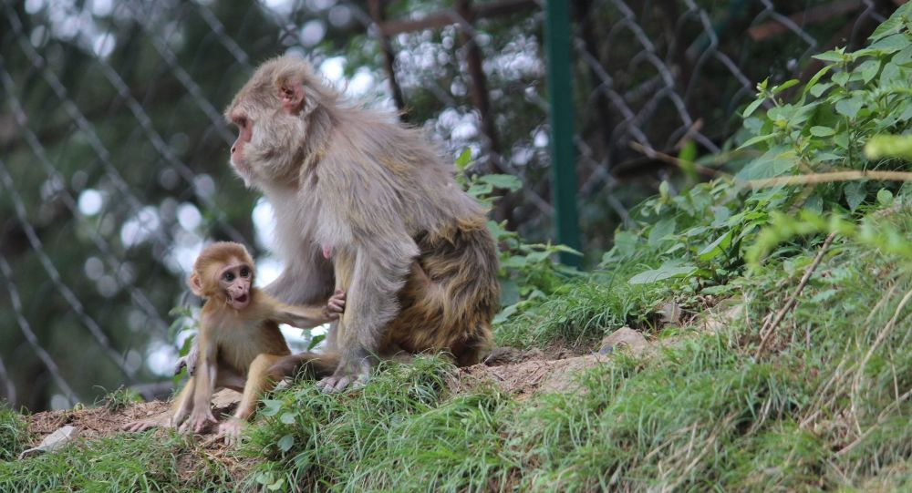 Baby macaque and its mother