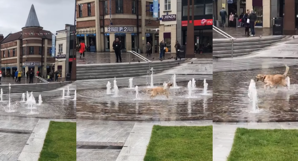 Golden Retriever Frolics Around UK Fountain