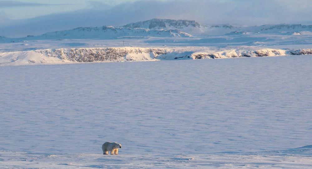 A polar bear walking on the coast of the remote Russian northern Novaya Zemlya archipelago
