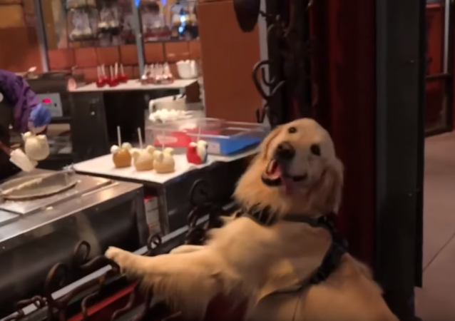 Look at This! Golden Retriever Fixated on Sweet Treats