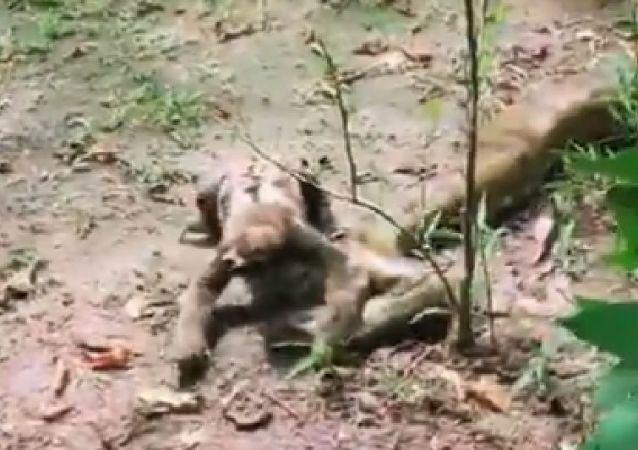 Anaconda versus Sloth