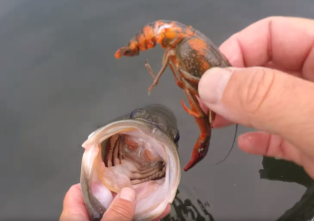 Down the Hatch: Angler Gives Treat to Largemouth Bass Before Release