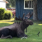 Alaskan Moose Keeps Cool Amid Record 90-Degree Heatwave