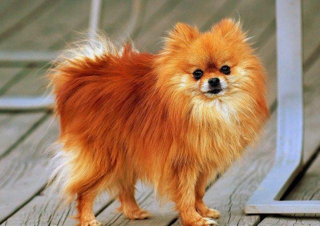 Pomeranian orange-sable Coco