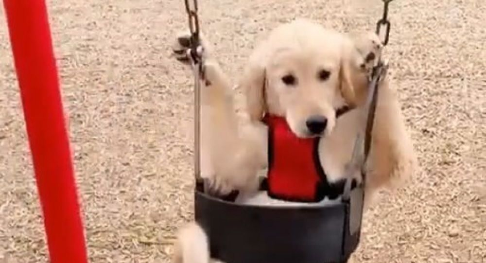Dog swings
