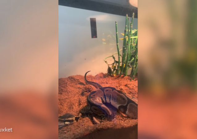 Owner Captures Moment Python Passes Gas