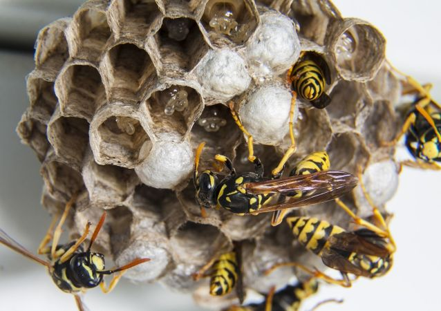 Wasps at their hive