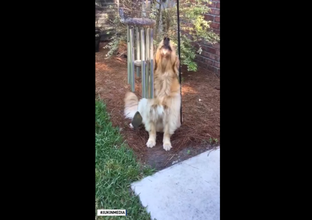 Golden Retriever Sings Tune With Wind Chimes