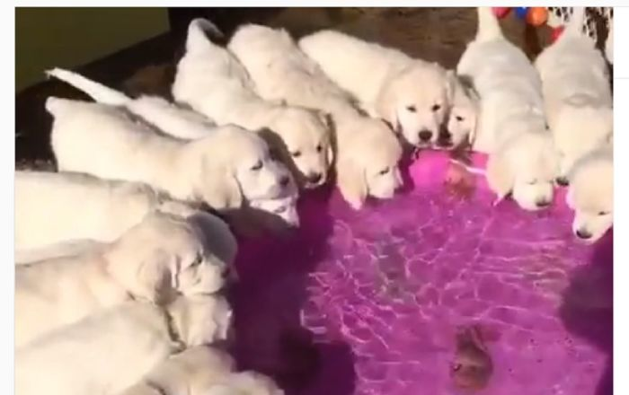 Golden retriever puppies drink from a pool