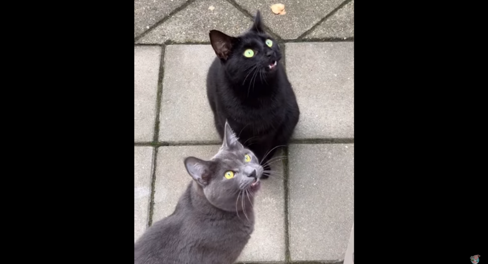 Annoyed Dutch Cats Repeatedly Chirp at Invading Bird