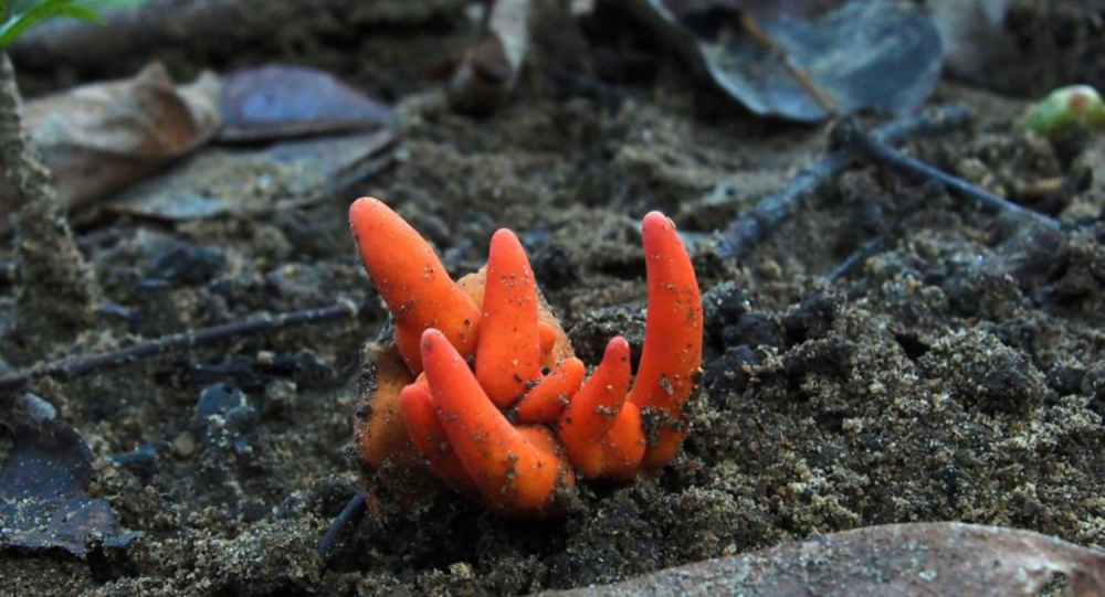 Image snapped by photographer Ray Palmer captures the first recorded instance of the deadly Poison Fire Coral fungus in Australia