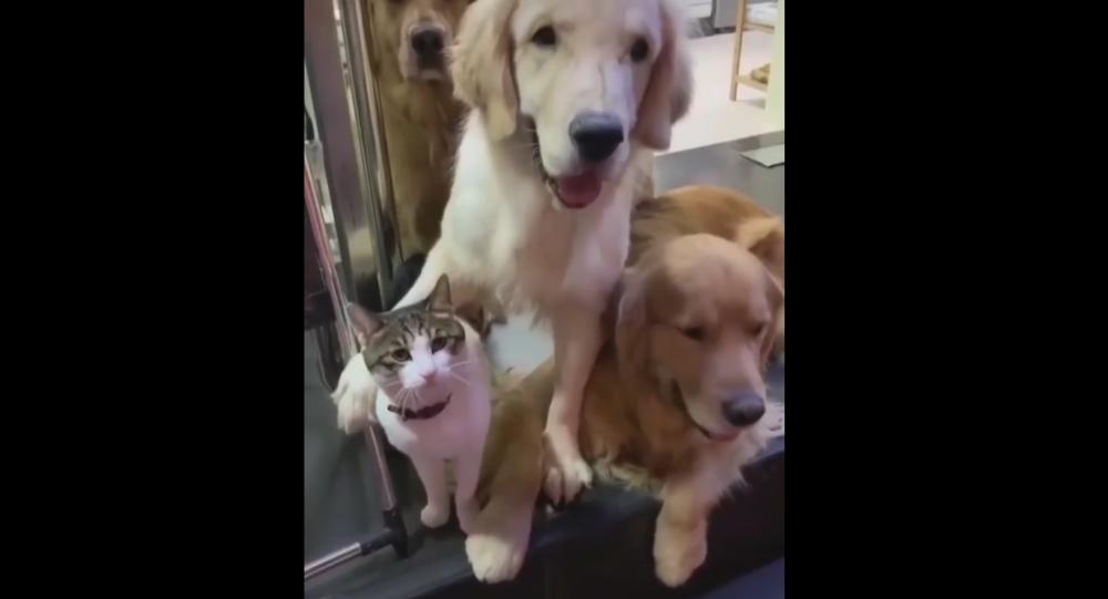 Cat and Golden Retrievers