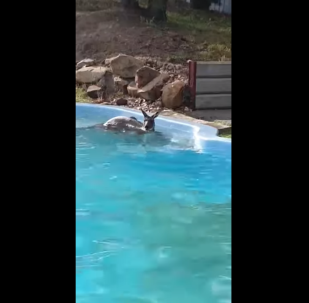 Kangaroo Jumps Into Backyard Pool, Goes for Refreshing Swim