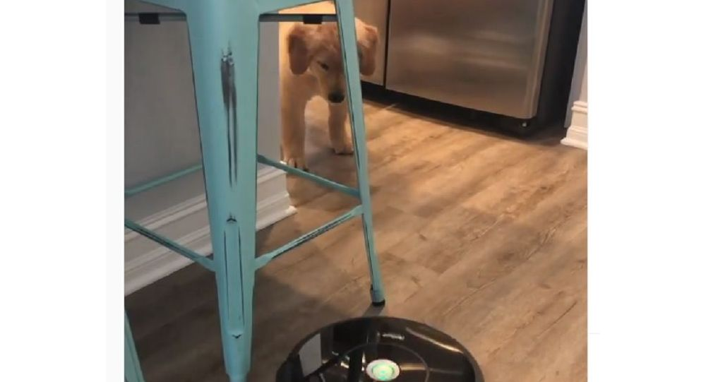 A golden retriever and a robot vacuum cleaner