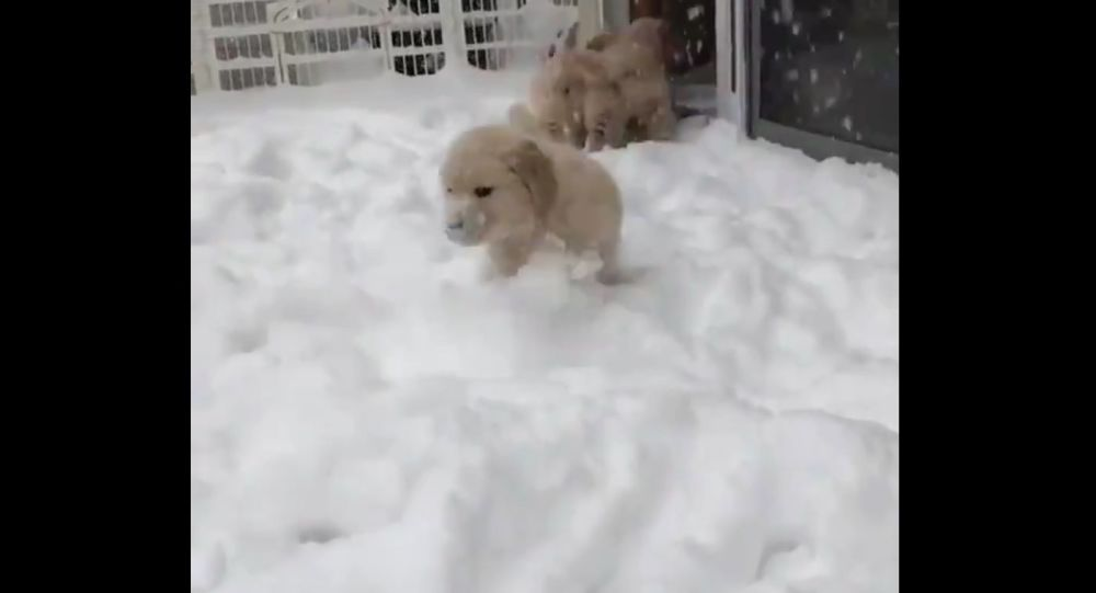 Golden Retriever Puppies playing in the Snow