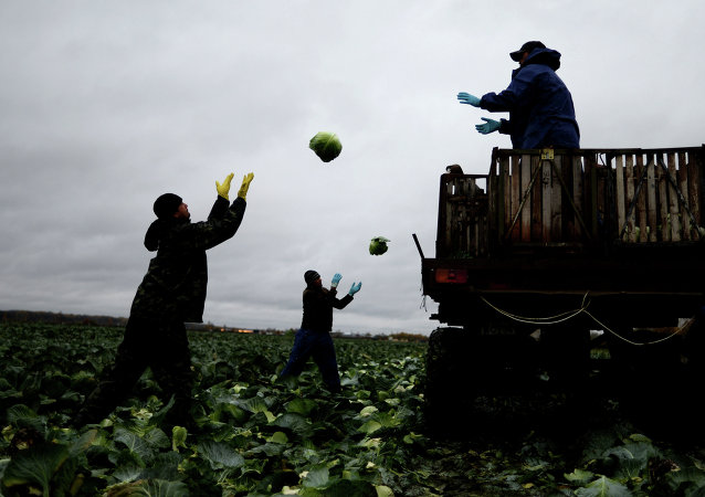 Russian farmers garnering the crop of cabbage