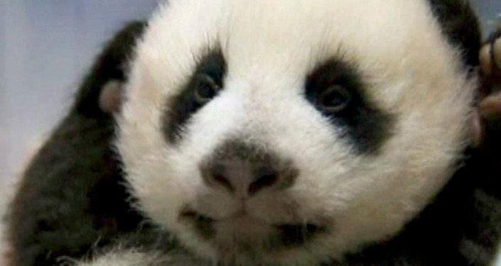 Панд в Китае искусственно выводят в пробирке