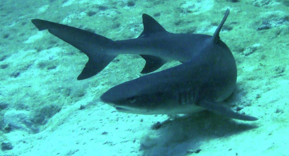 Shark in Australia