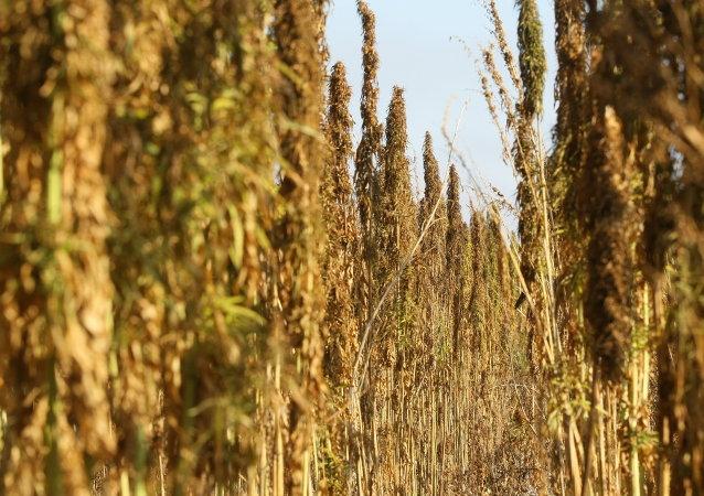Выращивание ненаркотической конопли в Новосибирской области