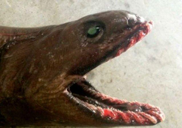 Frilled Shark