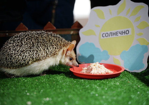 Yekaterinburg Zoo Pugovka the Hedgehog predicts an early and sunny spring