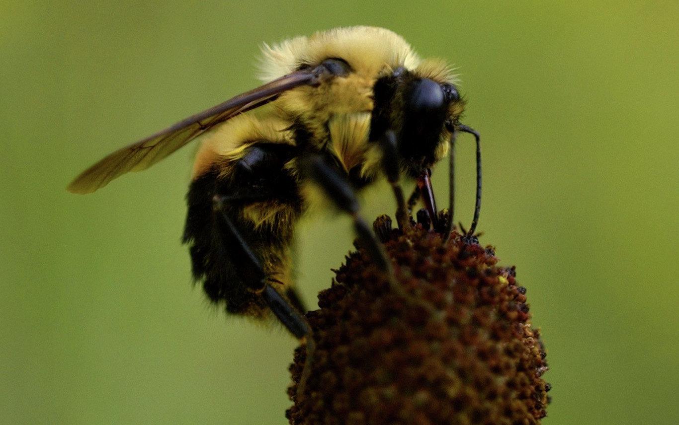 Honey Bee Pollinating Sunflower