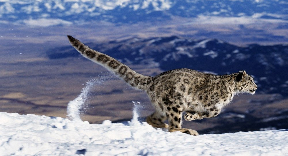 Snow Leopard or Ounce, uncia uncia, Running through Mountains