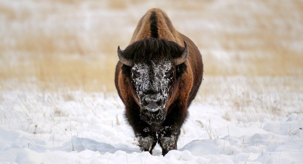 This woolly bull-y was left white face after plowing his head deep into the thick snow to reach grasses buried underneath