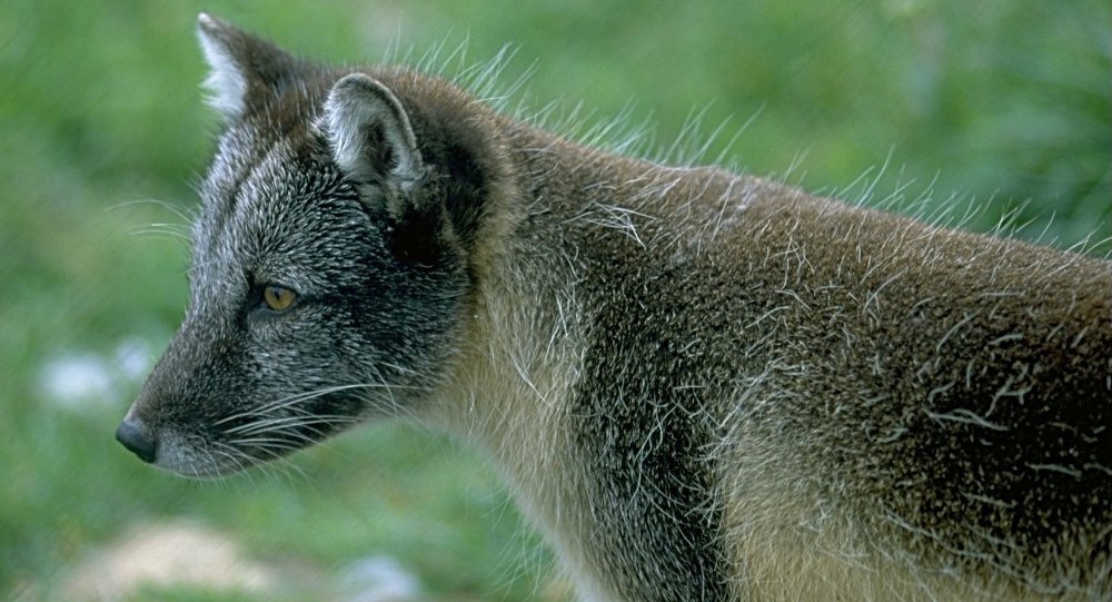 Arctic fox astonishes researchers after walking 2,000 miles from Norway to Canada