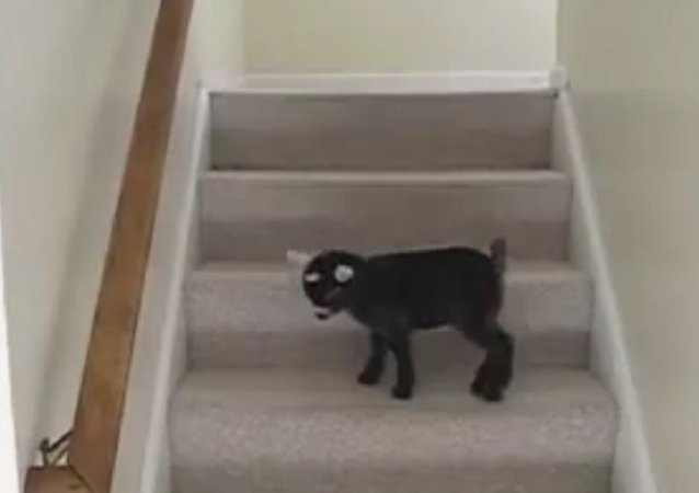 Energy Fountain: Playful Pigmy Goat Gambols on Stairs