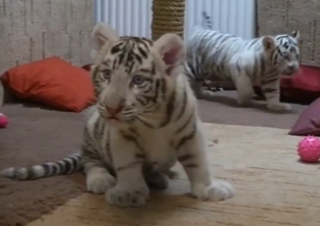 Rare White Tiger Cubs at Hungarian Zoo