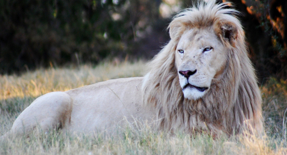 While reports of white lions first surfaced in the 1930s, scientists were not able to officially document their existence until 1975. It is not clear exactly when the white lions re-emerged on our planet.