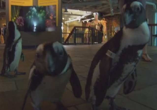 It's a Penguin Parade!