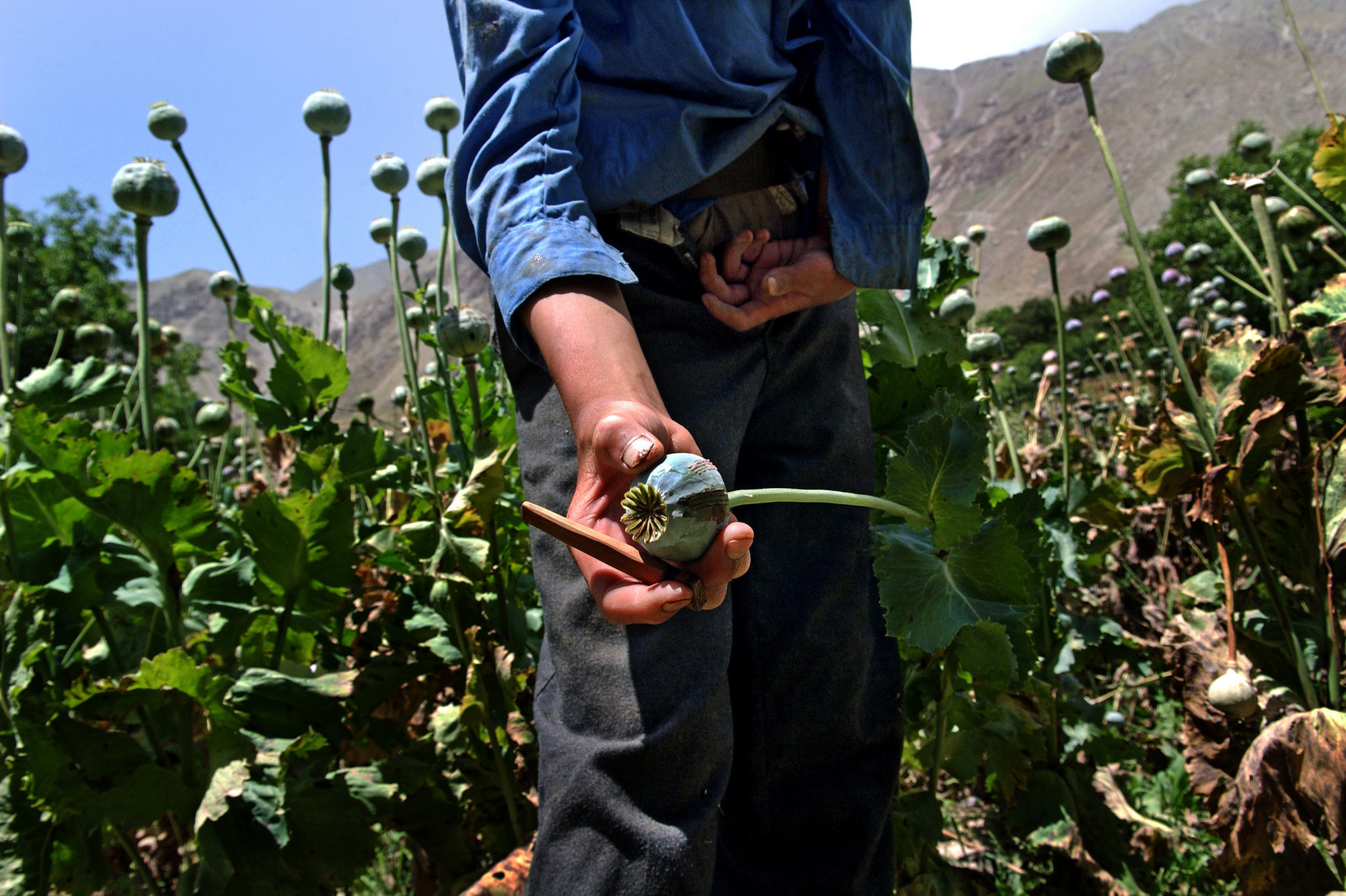 Trapped in the trade : newer, higher yielding opium poppies - with bigger bulbs that mature faster and produce more resin using less water - just strengthen the financial incentives for Afghan farmers to grow opium, which can earn them 12 times as much as conventional crops.