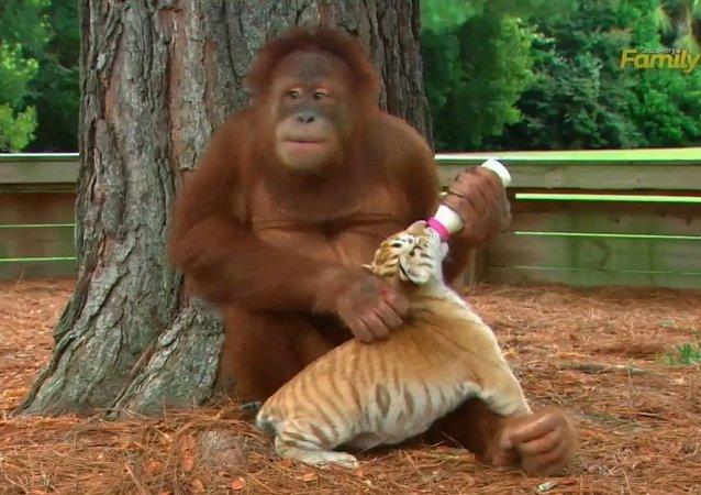 Discovery Family Daytime Orangutan babysits tiger cubs