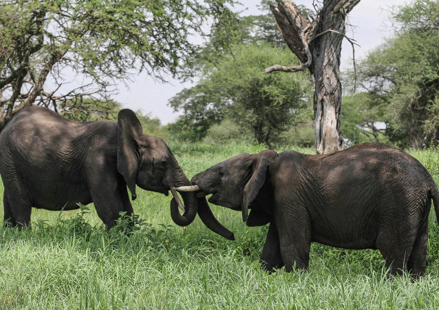 African elephants in northern Tanzania
