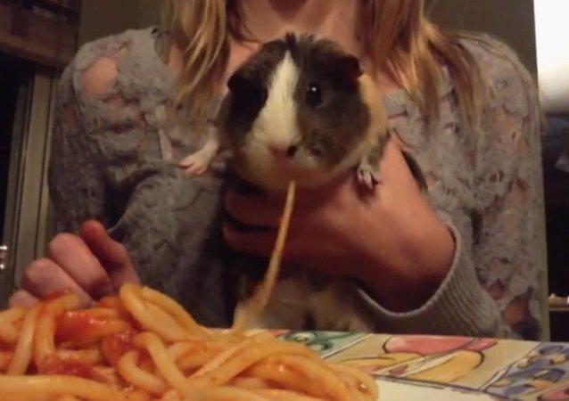 Guinea Pig Slurps Up Spaghetti