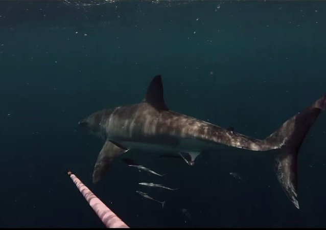 Close Encounter with Great White shark off Port Canaveral while Diving