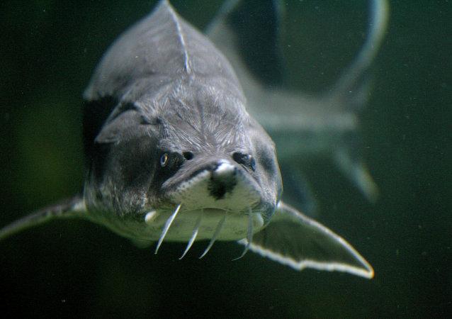 A Sturgeon is seen in an aquarium