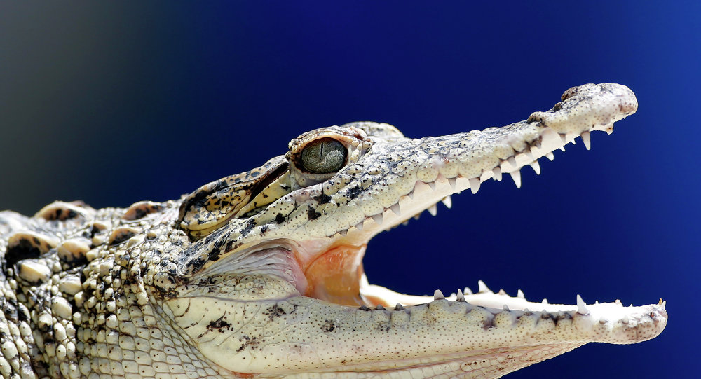 A young Cuban crocodile opens its jaws in a quarantined enclosure at the National Zoo in Havana, Cuba
