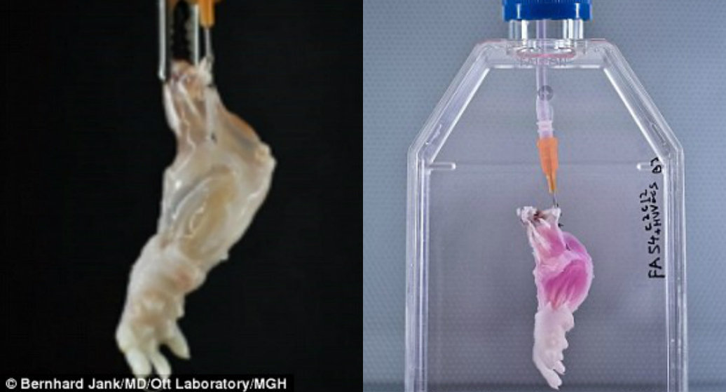 The dead rat arm is stripped of its soft tissue (left) and then fed new cells and nutrients  (right) from the recipient's own body to build a biologically compatible set of tissue on the limb scaffold.