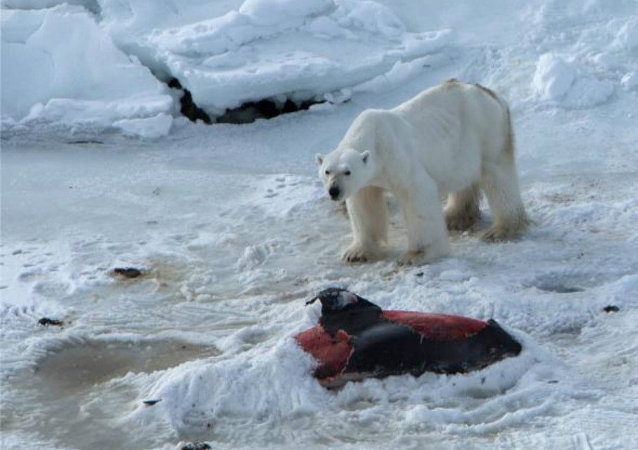 Polar bears are now eating dolphins, thanks to global warming