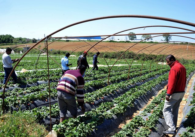 Immigrant workers walk at a strawberry plantation near the village of Manolada about 260 kilometers (160 miles) west of Athens